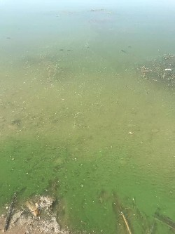 green harmful algal bloom scum in Utah Lake water
