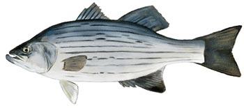 fish advisory